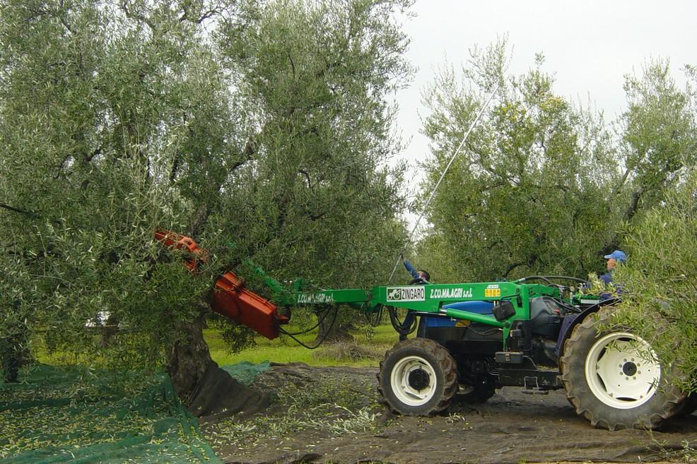 raccolta olive. <span>Foto Vincenzo Cassano</span>