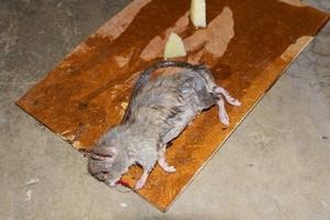 Ratto rinvenuto in via Basilicata