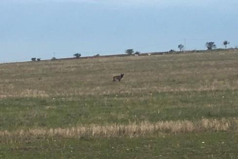 Avvistamento lupo murgiano