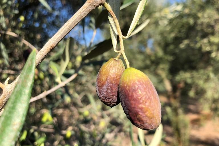 siccità: olive avvizzite e campi a secco