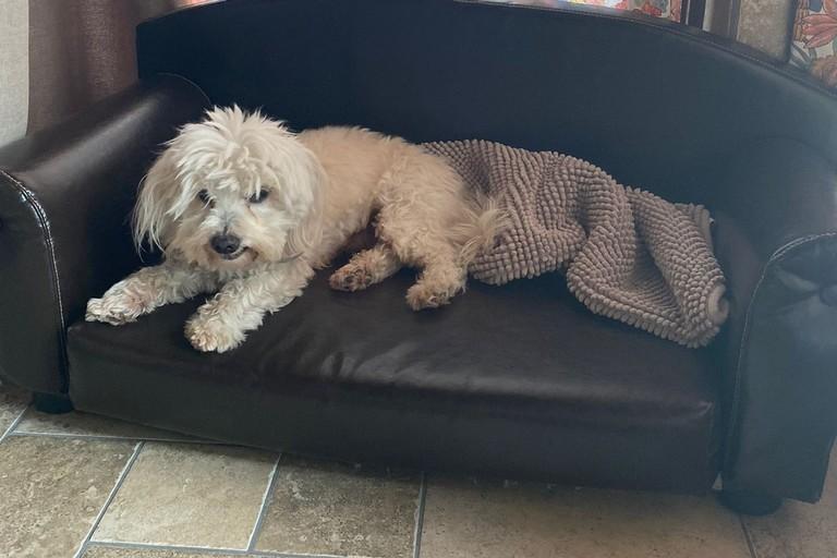 Rommy, il cane maltese rapito ieri ad Andria