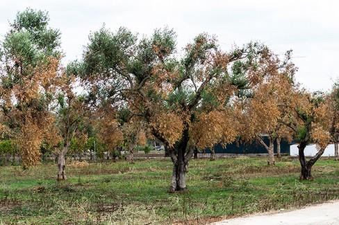 ulivi colpiti dalla xylella fastidiosa o sputacchina